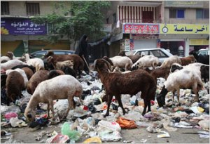 Egypt's goats can't keep up with all the garbage (photo from NY Times)
